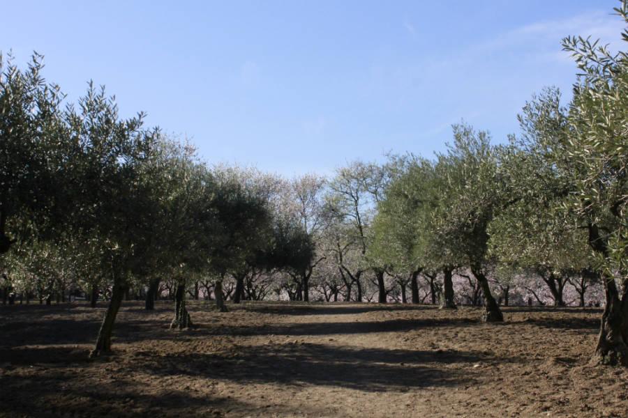 almendros y olivos oliCloud