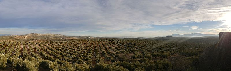 Panoramica olivar