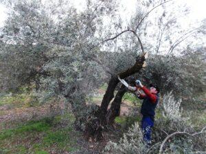 corta del olivo