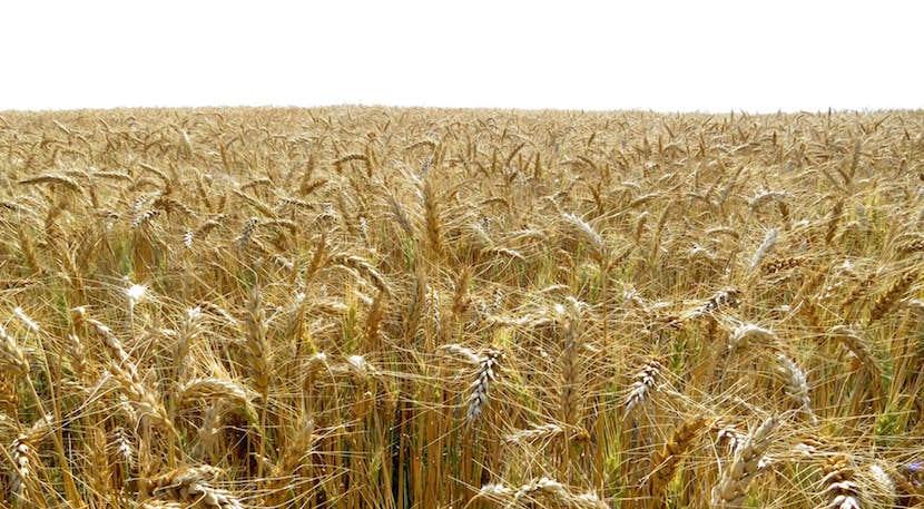 rentabilidad del cereal