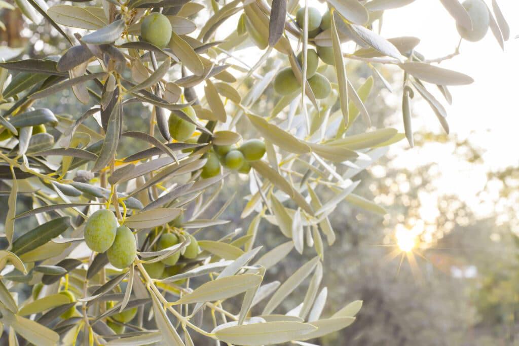 rentabilidad del olivar