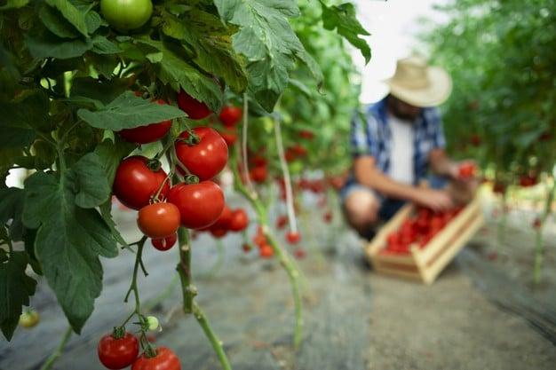 joven agricultor recolectando tomates